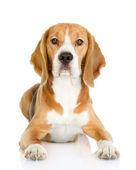 Beagle dog looking at camera. isolated on white background — Stock Photo