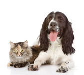 English Cocker Spaniel dog and cat together. — Stock Photo