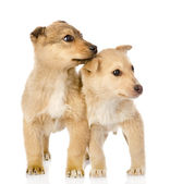 Two puppies looking away. isolated on white background — Stock Photo