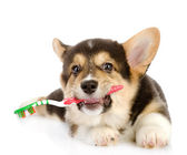 Pembroke Welsh Corgi puppy with a toothbrush. isolated on white background — Stock Photo