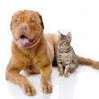 Stock Photo: French mastiff and Bengal cat