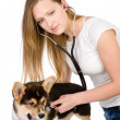Vet checking the heart rate of a adult Pembroke Welsh Corgi dog. — Stock Photo