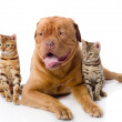 French mastiff and two leopard cats — Stock Photo