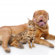 French mastiff and Bengal cat — Stock Photo