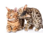 Two Bengal cats (Prionailurus bengalensis) — Stock Photo