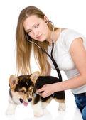 Veterinario comprobar el ritmo cardíaco de un perro corgi galés de pembroke adulto. — Foto de Stock