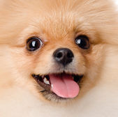Closeup portrait spitz dog — Stock Photo