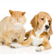Beagle and persian cat. looking at camera. isolated on white background — Stock Photo