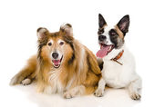 Two dogs looking at camera — Stock Photo