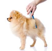 Cuidados para o cabelo de cão. — Foto Stock