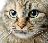 Close-up portrait of green-eyed Siberian cat. — Stock Photo