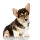 Pembroke Welsh Corgi puppy — Stock Photo