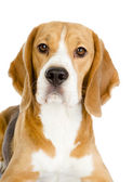 Beagle dog looking at camera. isolated on white background — Stock Photo