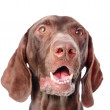 Close-up German Shorthaired Pointer in front. — Stock Photo