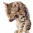 Bengal Cat washing itself. isolated on white background — Stock Photo