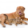 Dogue de Bordeaux (French mastiff) and Bengal cat — Stock Photo