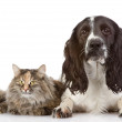 English Cocker Spaniel dog and cat together. isolated on white  — Stock fotografie