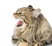 Gatito asustado miente en frente. aislado sobre fondo blanco. — Foto de Stock