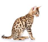 Purebred bengal cat. isolated on white background — Stock Photo