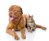 French mastiff and Bengal cat looking away. — Stock Photo