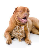 Dogue de Bordeaux (French mastiff) and leopard cat — Stock Photo
