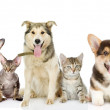 Постер, плакат: Group of cats and dogs in front looking at camera
