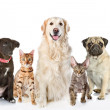 Постер, плакат: Large group of cats and dogs in front looking at camera