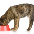 Dog eating food from red dish. isolated on white background — Stock Photo