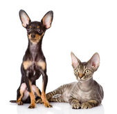 Devon rex cat and toy-terrier puppy together. looking away. — Stock Photo