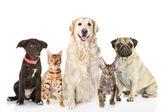 Grande gruppo di cani e gatti di fronte. guardando la fotocamera. — Foto Stock