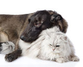 Mixed breed dog and persian cat together. isolated on white background — Stock Photo