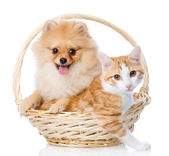 Spitz dog embraces a cat in basket. looking at camera. — Stock Photo