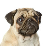 Head pug puppy closeup. isolated on white background — Stock Photo