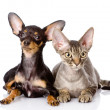 Devon rex cat and toy-terrier puppy together. looking at camera. — Stock Photo