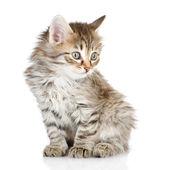 毛茸茸的灰色美丽小猫东张西望。在白色背景上孤立 — 图库照片