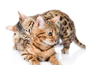 Two Bengal cats (Prionailurus bengalensis). isolated on white background — Stock Photo