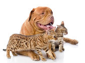 Dogue de Bordeaux (French mastiff) and two leopard cats — Stock Photo