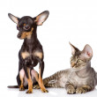 Devon rex cat and toy-terrier puppy together. looking away - Stock Photo