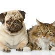Stock Photo: Cat lies near dog. isolated on white background