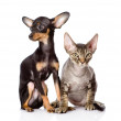 Devon rex cat and toy-terrier puppy sitting together.  — ストック写真