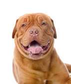 Dogue de Bordeaux — Stock Photo