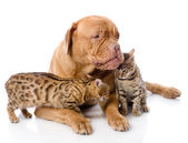 Dogue de Bordeaux (French mastiff) and Bengal cats — Stock Photo