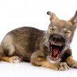 Funny yawning puppy. isolated on white background — Stock Photo