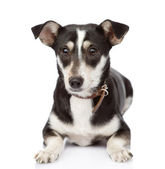 Hond liggen aan de voorzijde. geïsoleerd op witte achtergrond — Stockfoto