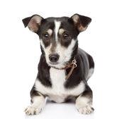 önünde yatan bir köpek. beyaz arka plan üzerinde izole — Stok fotoğraf