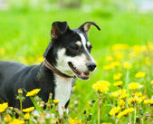 Dog in flower field of yellow dandelions — Stock Photo