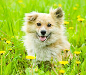 Happy mixed breed dog in flower field of yellow dandelions — Stock Photo