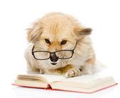 Pes v knize čtení brýle. Při pohledu na fotoaparát. izolované na bílém — Stock fotografie