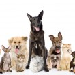 Group of cats and dogs in front. looking at camera. isolated on white — Stock Photo