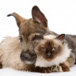 Dog embraces a cat.  isolated on white background  — Stock Photo